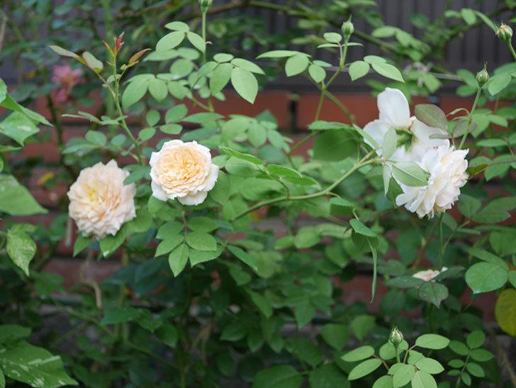 バスシーバ(Bathsheba)の夏花が咲いた。ツルバラ。2020年-007.jpg