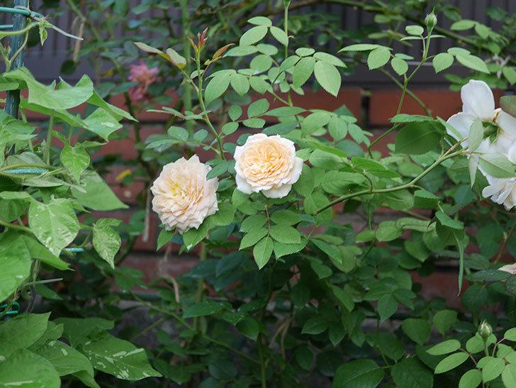 バスシーバ(Bathsheba)の夏花が咲いた。ツルバラ。2020年-008.jpg