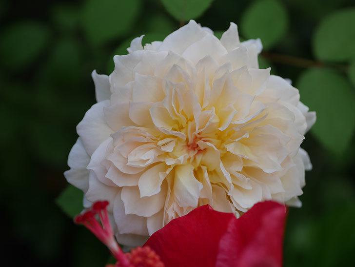 バスシーバ(Bathsheba)の夏花が咲いた。ツルバラ。2020年-009.jpg