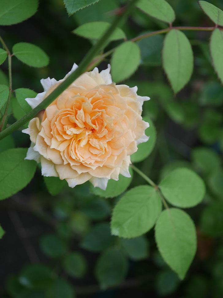 バスシーバ(Bathsheba)の夏花が咲いた。ツルバラ。2020年-010.jpg