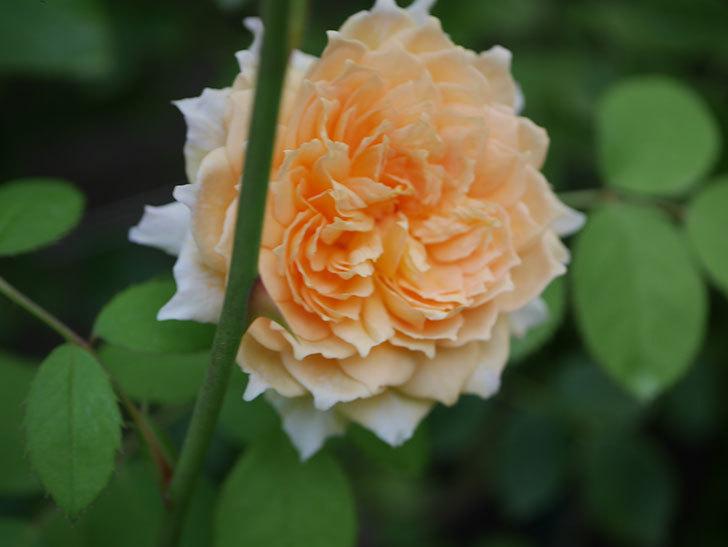 バスシーバ(Bathsheba)の夏花が咲いた。ツルバラ。2020年-011.jpg