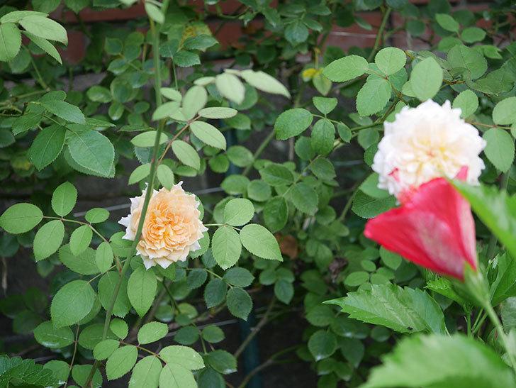 バスシーバ(Bathsheba)の夏花が咲いた。ツルバラ。2020年-012.jpg