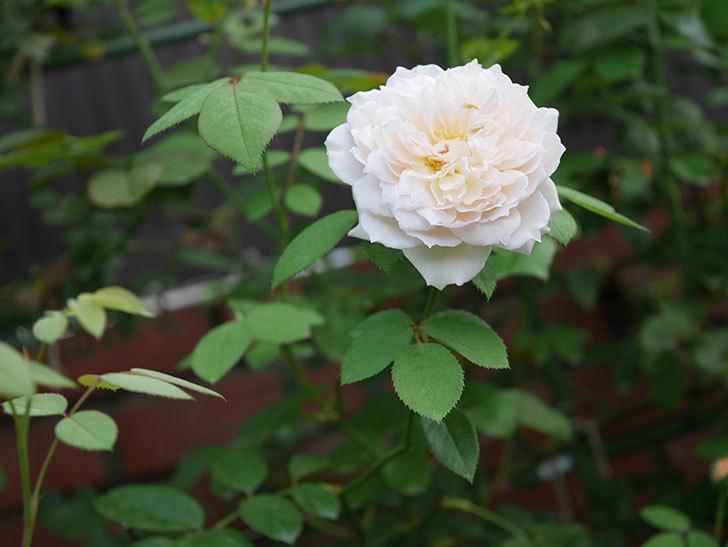 バスシーバ(Bathsheba)の夏花が咲いた。ツルバラ。2020年-013.jpg