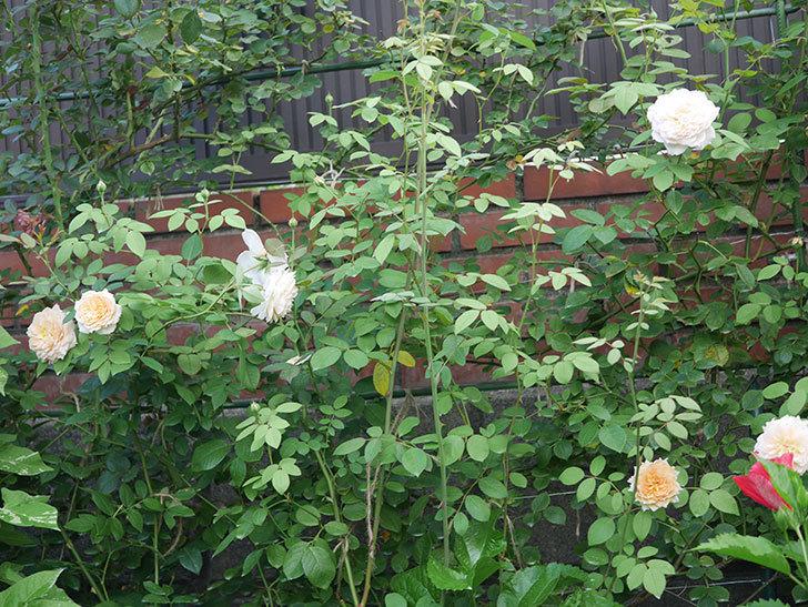 バスシーバ(Bathsheba)の夏花が咲いた。ツルバラ。2020年-014.jpg