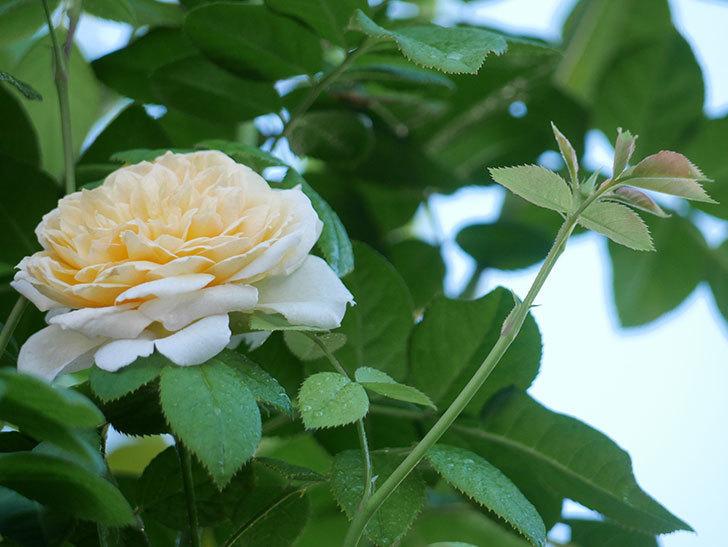 バスシーバ(Bathsheba)の夏花が咲いた。ツルバラ。2021年-001.jpg