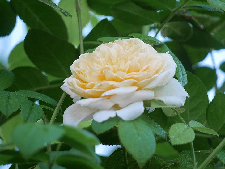 バスシーバ(Bathsheba)の夏花が咲いた。ツルバラ。2021年-002.jpg