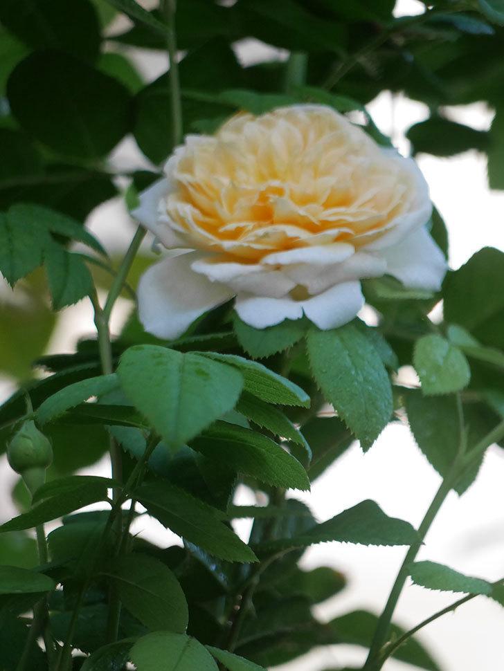 バスシーバ(Bathsheba)の夏花が咲いた。ツルバラ。2021年-003.jpg