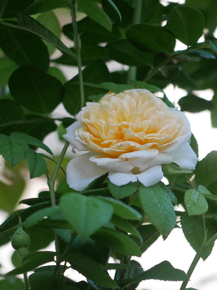バスシーバ(Bathsheba)の夏花が咲いた。ツルバラ。2021年-004.jpg