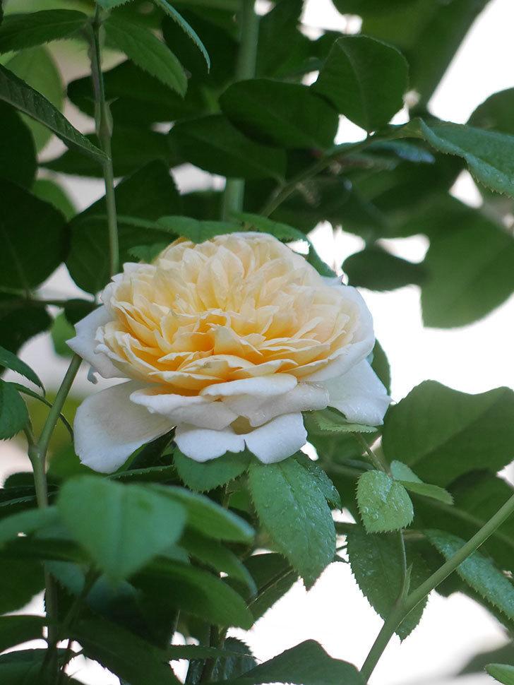 バスシーバ(Bathsheba)の夏花が咲いた。ツルバラ。2021年-005.jpg