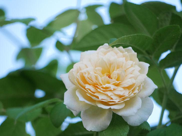 バスシーバ(Bathsheba)の夏花が咲いた。ツルバラ。2021年-006.jpg