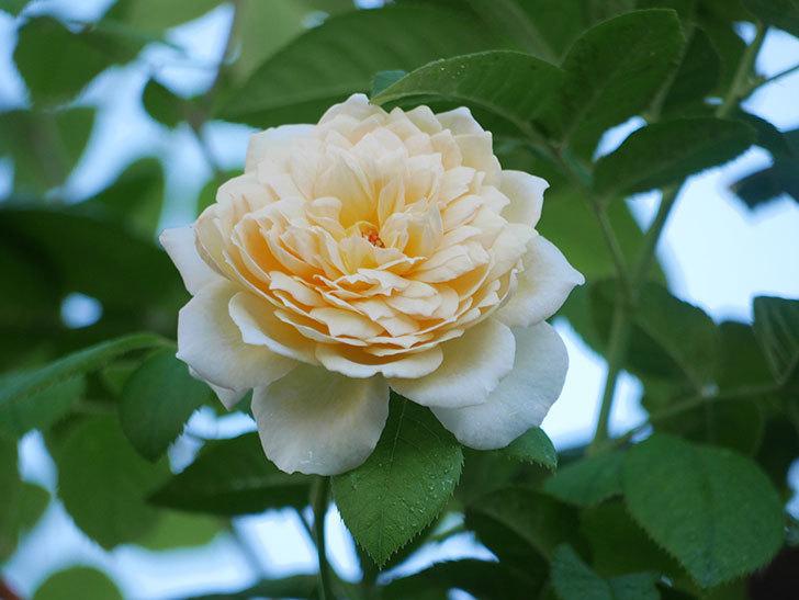 バスシーバ(Bathsheba)の夏花が咲いた。ツルバラ。2021年-007.jpg