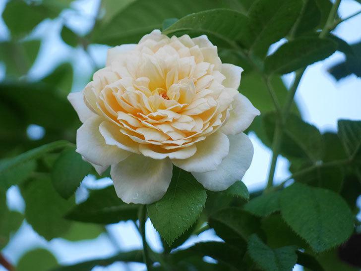 バスシーバ(Bathsheba)の夏花が咲いた。ツルバラ。2021年-008.jpg