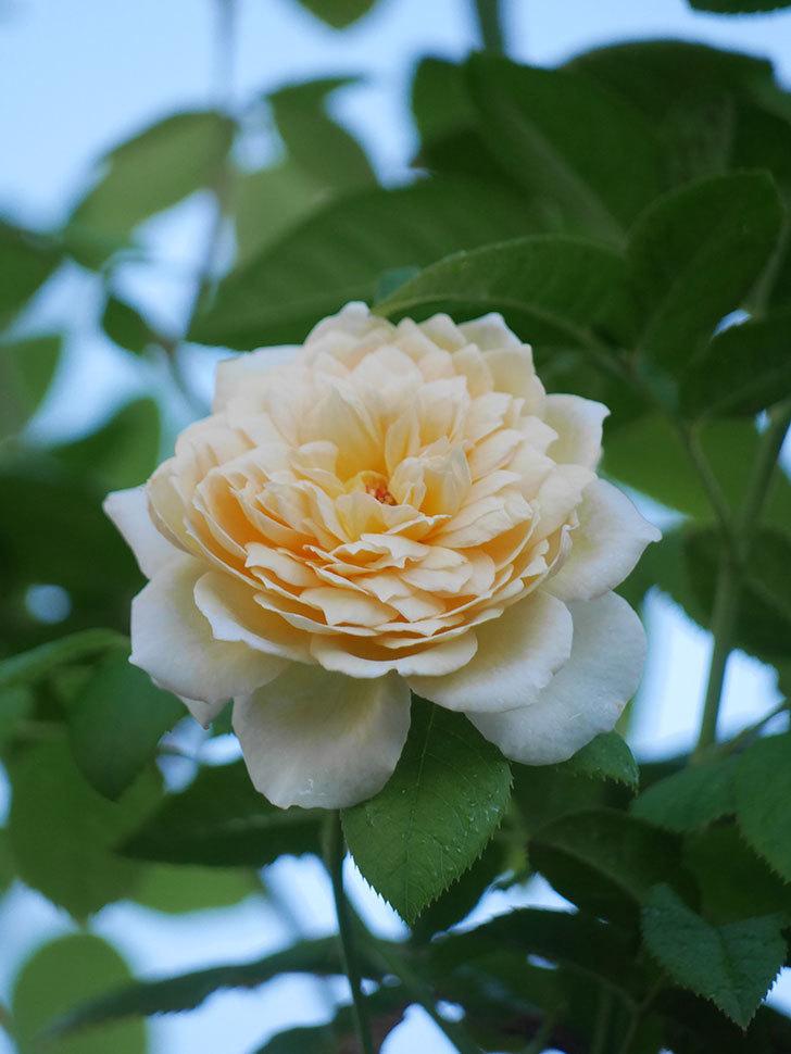 バスシーバ(Bathsheba)の夏花が咲いた。ツルバラ。2021年-009.jpg