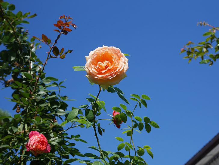 バスシーバ(Bathsheba)の秋花がまた咲いた。ツルバラ。2020年-001.jpg