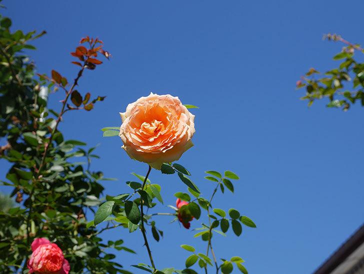 バスシーバ(Bathsheba)の秋花がまた咲いた。ツルバラ。2020年-002.jpg