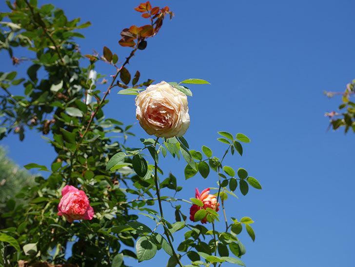 バスシーバ(Bathsheba)の秋花がまた咲いた。ツルバラ。2020年-003.jpg