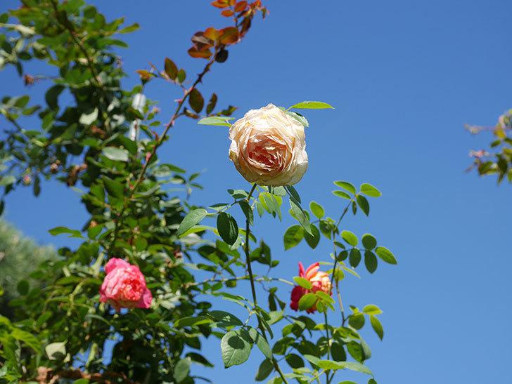 バスシーバ(Bathsheba)の秋花がまた咲いた。ツルバラ。2020年-004.jpg