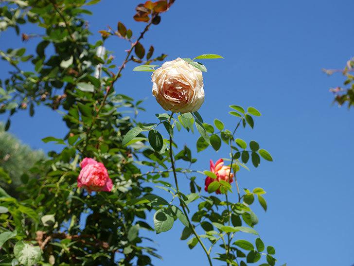 バスシーバ(Bathsheba)の秋花がまた咲いた。ツルバラ。2020年-005.jpg