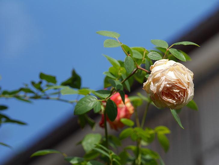 バスシーバ(Bathsheba)の秋花がまた咲いた。ツルバラ。2020年-007.jpg