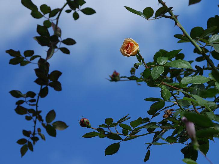 バスシーバ(Bathsheba)の秋花がまた咲いた。ツルバラ。2020年-008.jpg