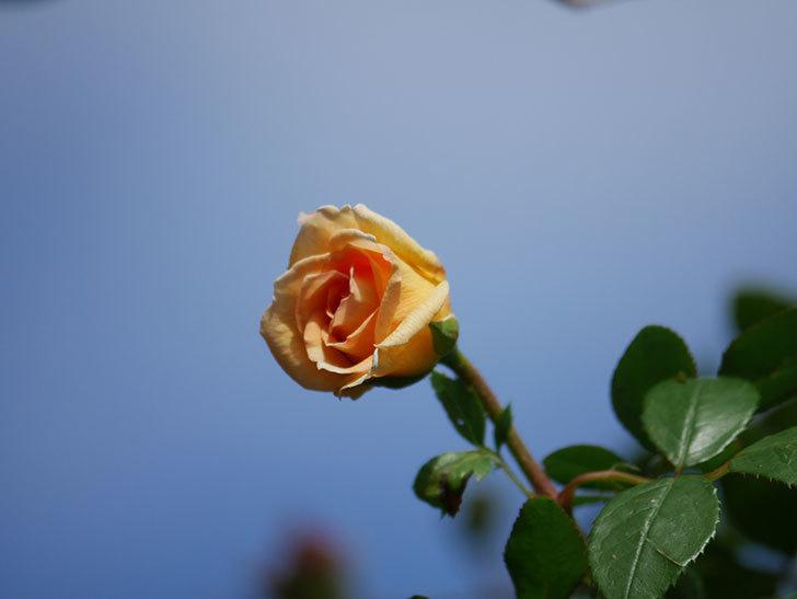 バスシーバ(Bathsheba)の秋花がまた咲いた。ツルバラ。2020年-009.jpg