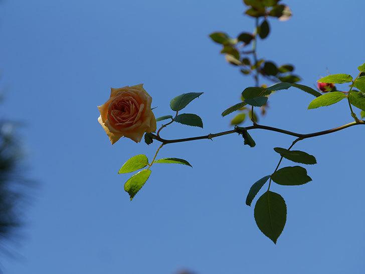 バスシーバ(Bathsheba)の秋花がまた咲いた。ツルバラ。2020年-012.jpg