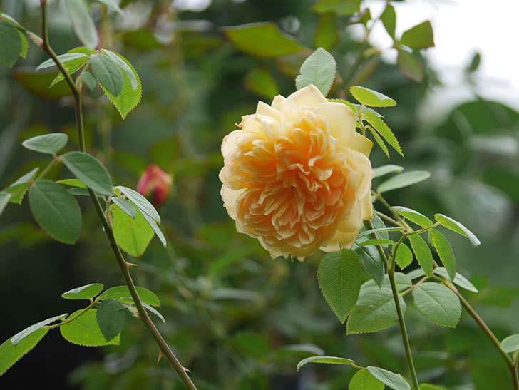 バスシーバ(Bathsheba)の秋花が咲いた。ツルバラ。2020年-001.jpg