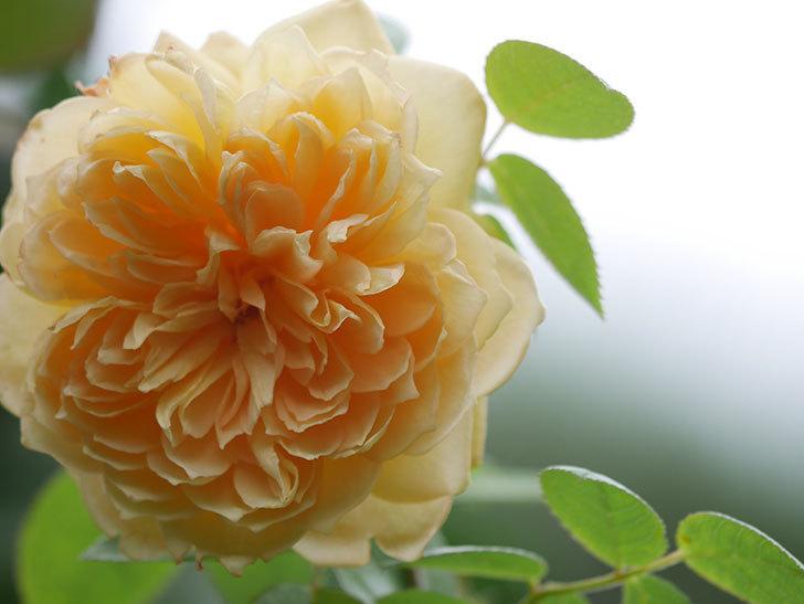 バスシーバ(Bathsheba)の秋花が咲いた。ツルバラ。2020年-002.jpg