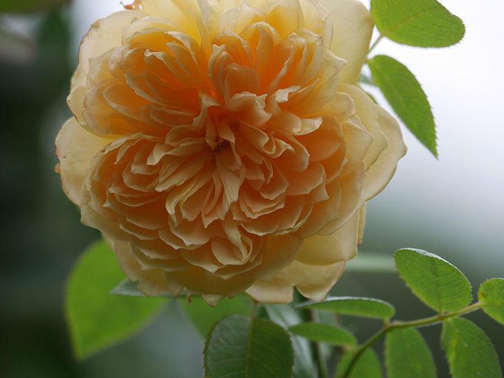 バスシーバ(Bathsheba)の秋花が咲いた。ツルバラ。2020年-003.jpg