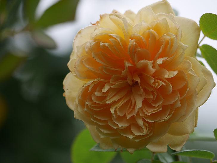 バスシーバ(Bathsheba)の秋花が咲いた。ツルバラ。2020年-004.jpg