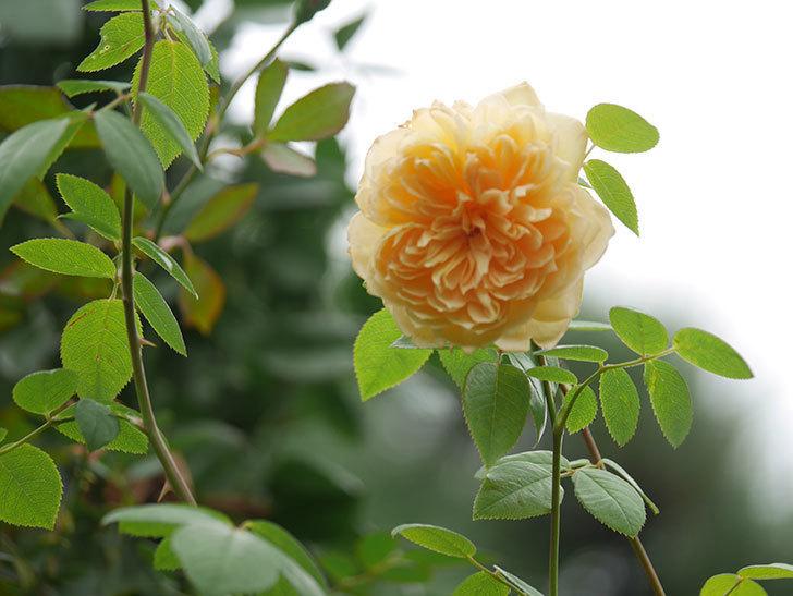 バスシーバ(Bathsheba)の秋花が咲いた。ツルバラ。2020年-005.jpg