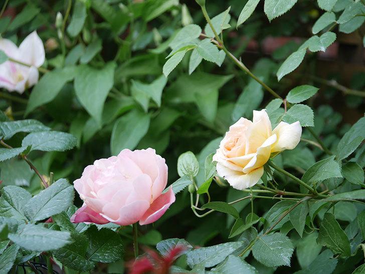 バスシーバ(Bathsheba)の花がたくさん咲いた。ツルバラ。2021年-001.jpg
