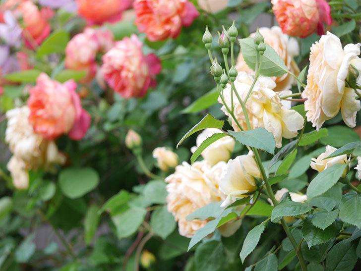 バスシーバ(Bathsheba)の花がたくさん咲いた。ツルバラ。2021年-002.jpg
