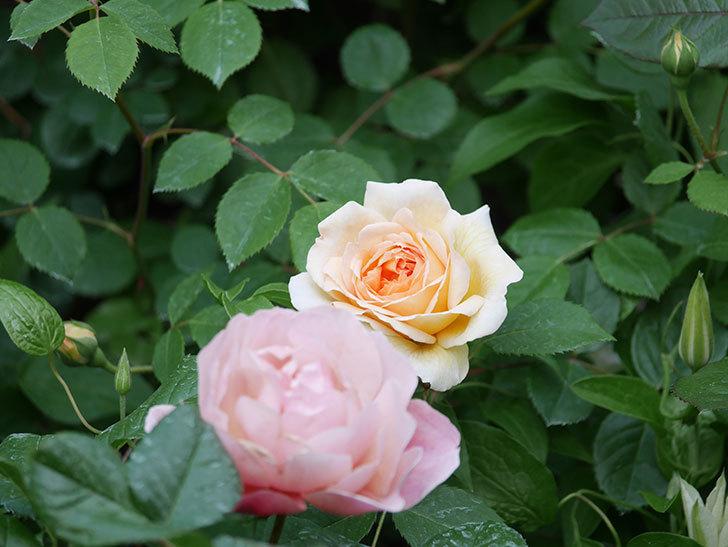 バスシーバ(Bathsheba)の花がたくさん咲いた。ツルバラ。2021年-003.jpg