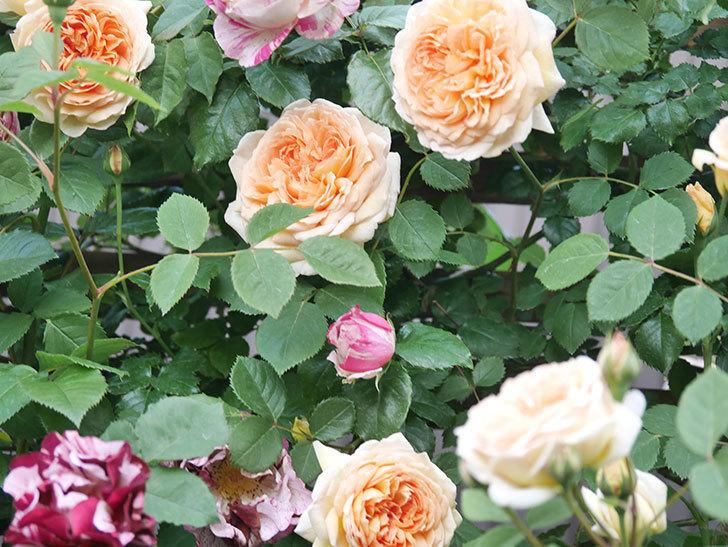 バスシーバ(Bathsheba)の花がたくさん咲いた。ツルバラ。2021年-005.jpg