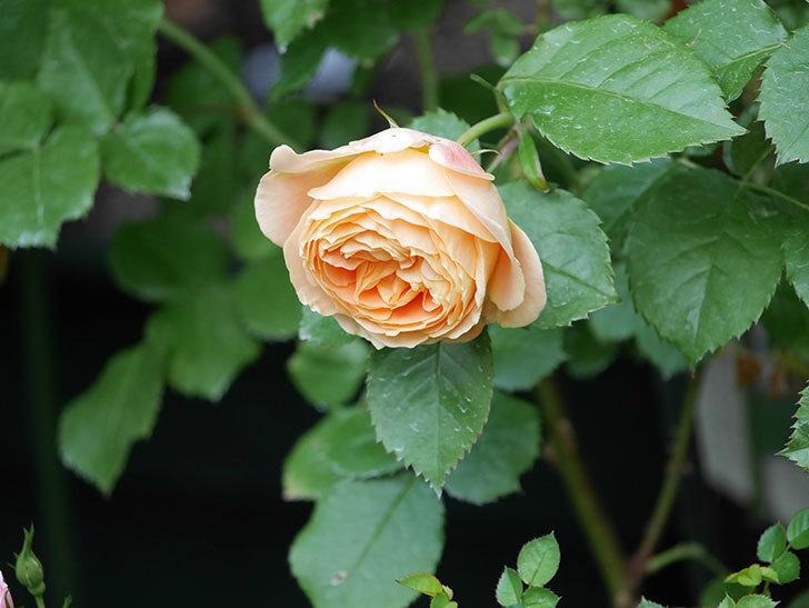 バスシーバ(Bathsheba)の花がたくさん咲いた。ツルバラ。2021年-006.jpg