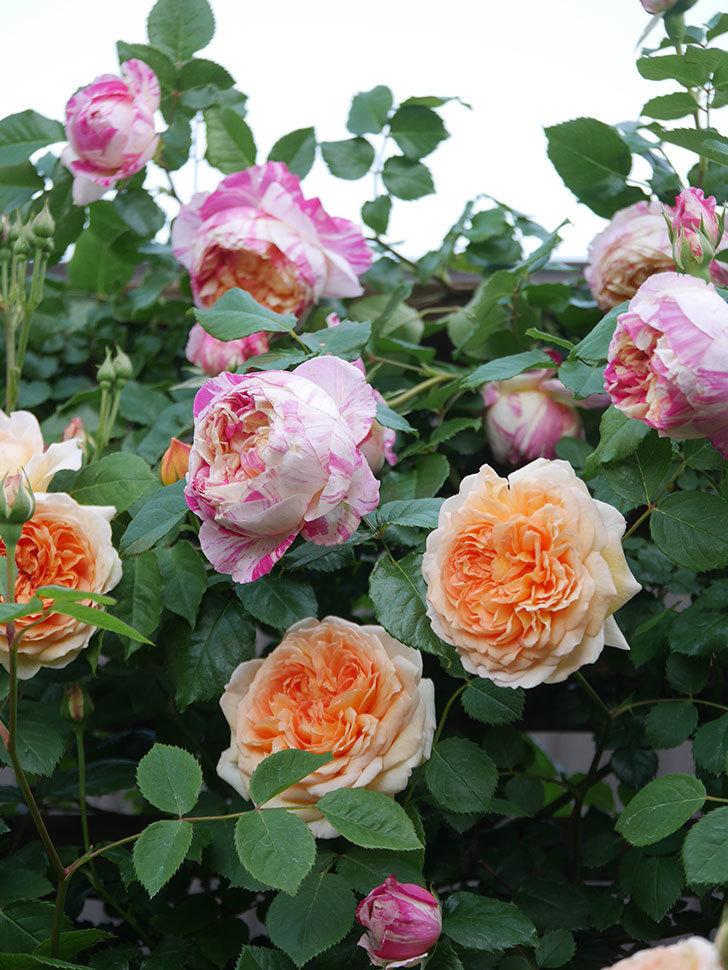 バスシーバ(Bathsheba)の花がたくさん咲いた。ツルバラ。2021年-010.jpg