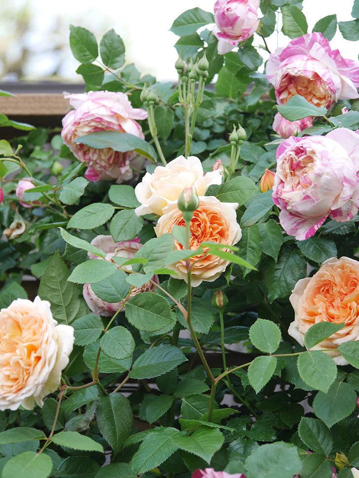 バスシーバ(Bathsheba)の花がたくさん咲いた。ツルバラ。2021年-011.jpg