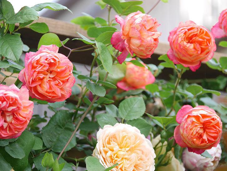 バスシーバ(Bathsheba)の花がたくさん咲いた。ツルバラ。2021年-014.jpg