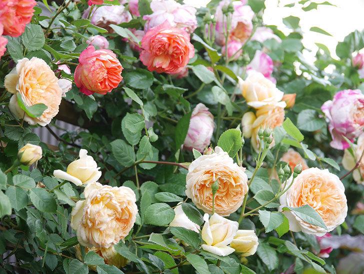 バスシーバ(Bathsheba)の花がたくさん咲いた。ツルバラ。2021年-015.jpg