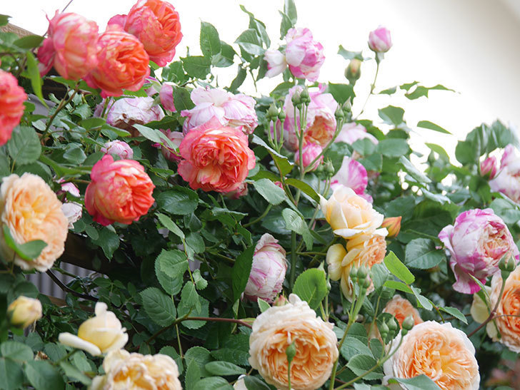 バスシーバ(Bathsheba)の花がたくさん咲いた。ツルバラ。2021年-016.jpg