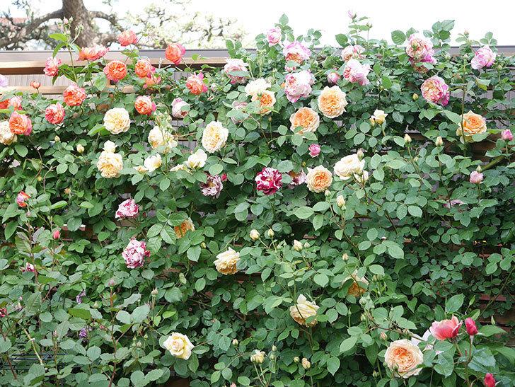 バスシーバ(Bathsheba)の花がたくさん咲いた。ツルバラ。2021年-017.jpg