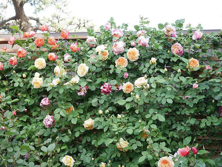 バスシーバ(Bathsheba)の花がたくさん咲いた。ツルバラ。2021年-018.jpg