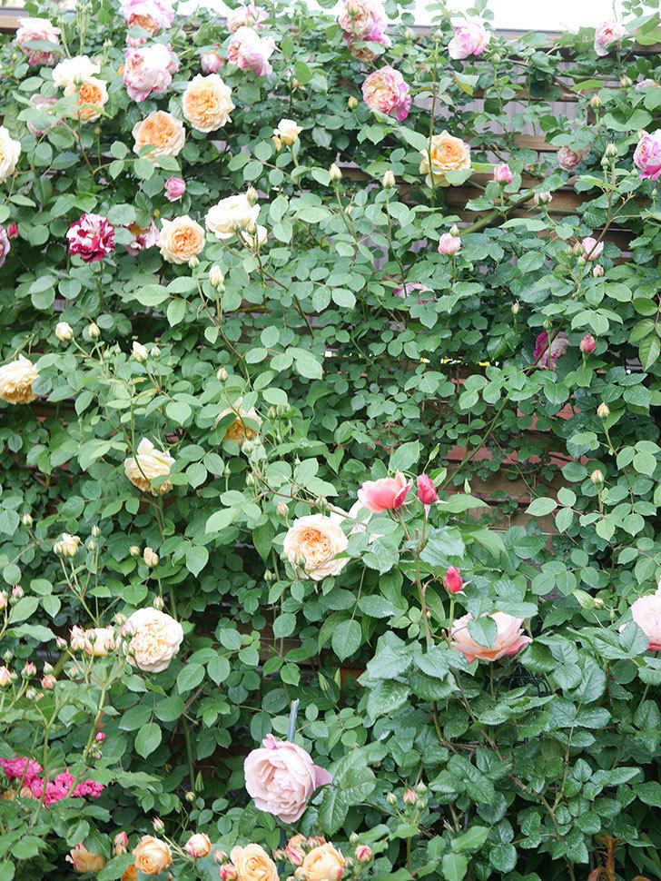 バスシーバ(Bathsheba)の花がたくさん咲いた。ツルバラ。2021年-020.jpg