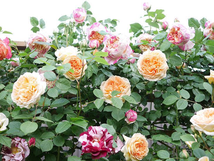 バスシーバ(Bathsheba)の花がたくさん咲いた。ツルバラ。2021年-022.jpg