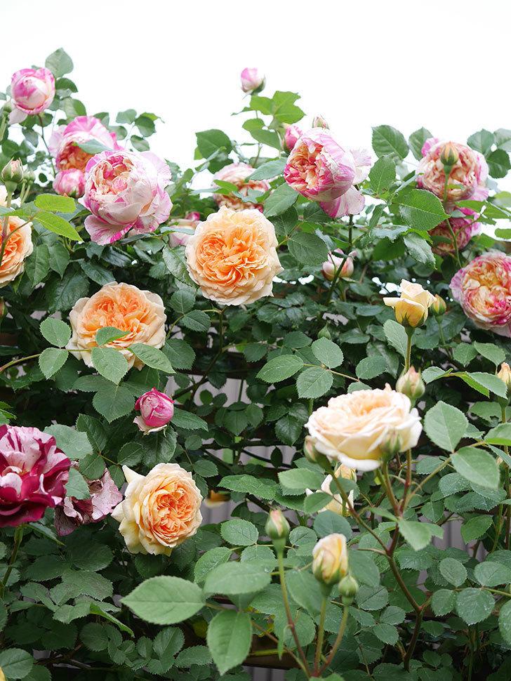 バスシーバ(Bathsheba)の花がたくさん咲いた。ツルバラ。2021年-023.jpg