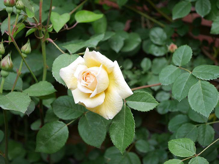 バスシーバ(Bathsheba)の花がたくさん咲いた。ツルバラ。2021年-025.jpg