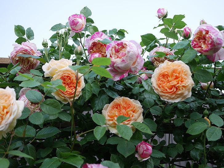 バスシーバ(Bathsheba)の花がたくさん咲いた。ツルバラ。2021年-026.jpg