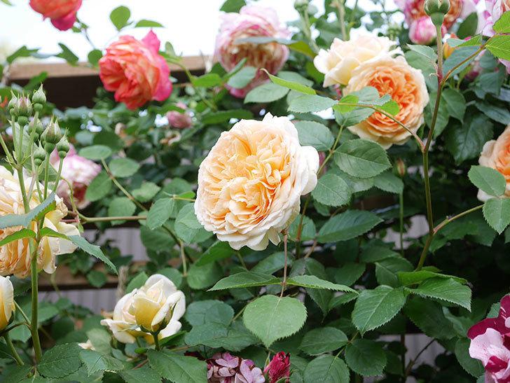 バスシーバ(Bathsheba)の花がたくさん咲いた。ツルバラ。2021年-028.jpg