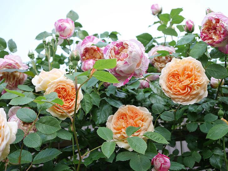 バスシーバ(Bathsheba)の花がたくさん咲いた。ツルバラ。2021年-029.jpg